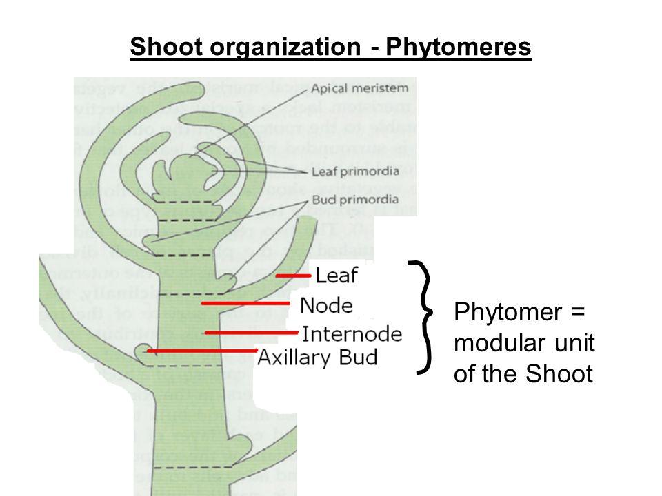 Shoot organization - Phytomeres