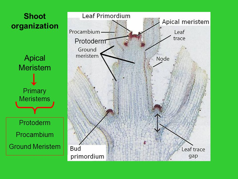 Shoot organization Apical Meristem Protoderm Primary Meristems