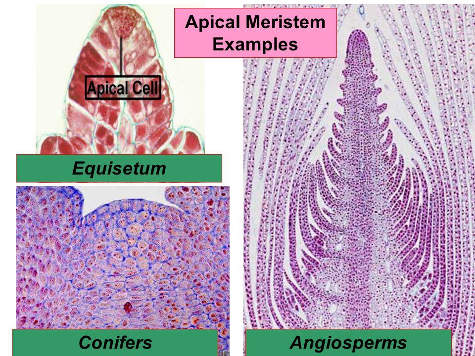 Apical Meristem Examples Equisetum Conifers Angiosperms
