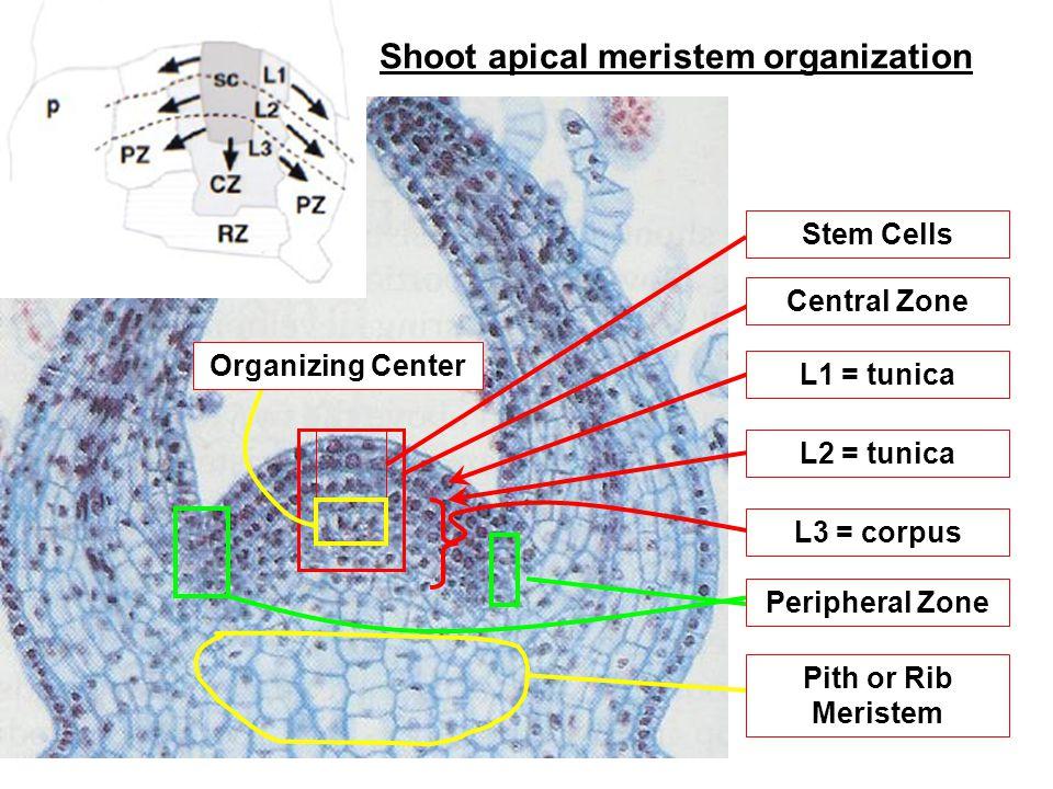Shoot apical meristem organization