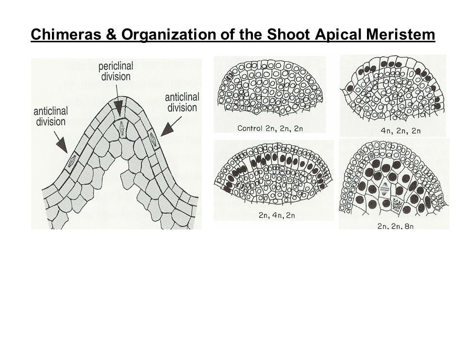 Chimeras & Organization of the Shoot Apical Meristem