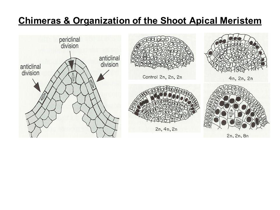Chimeras & Organization of the Shoot Apical Meristem