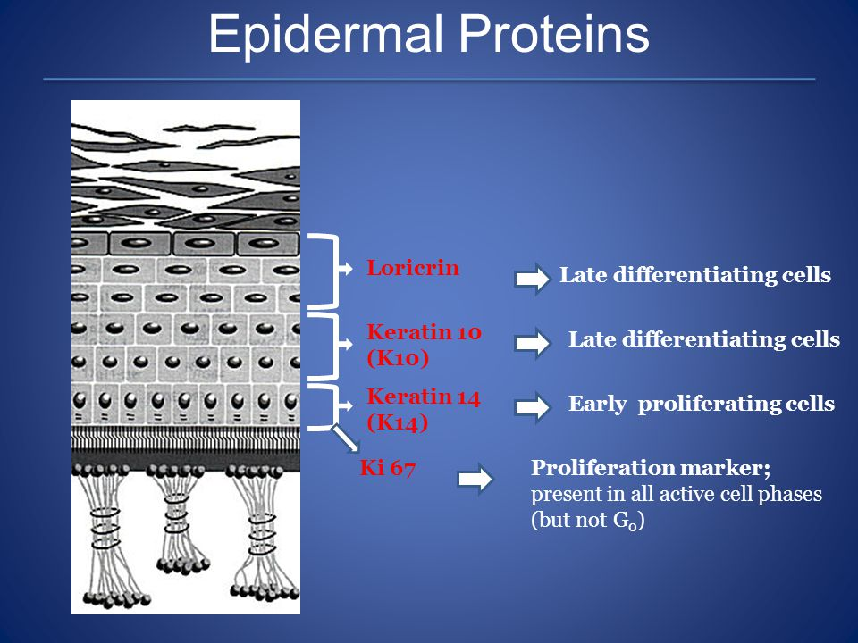 Epidermal Proteins Loricrin Late differentiating cells
