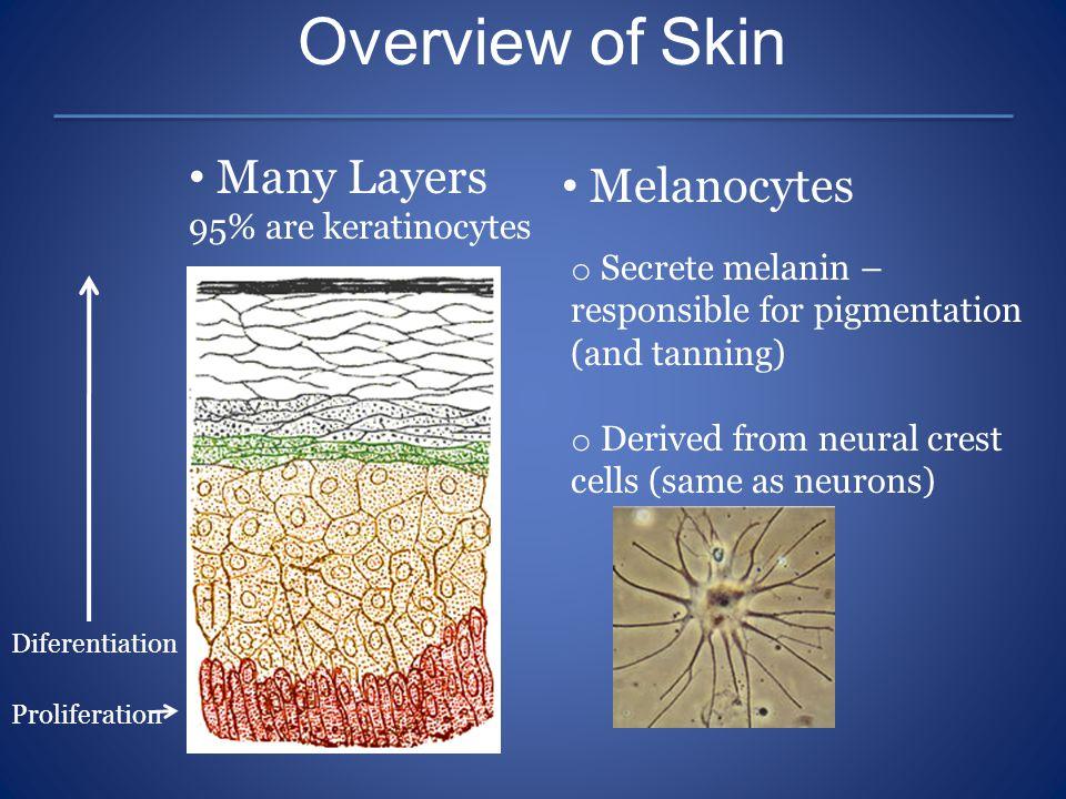 Overview of Skin Many Layers Melanocytes 95% are keratinocytes