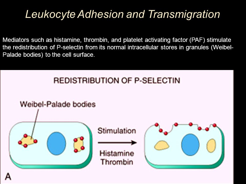 Leukocyte Adhesion and Transmigration