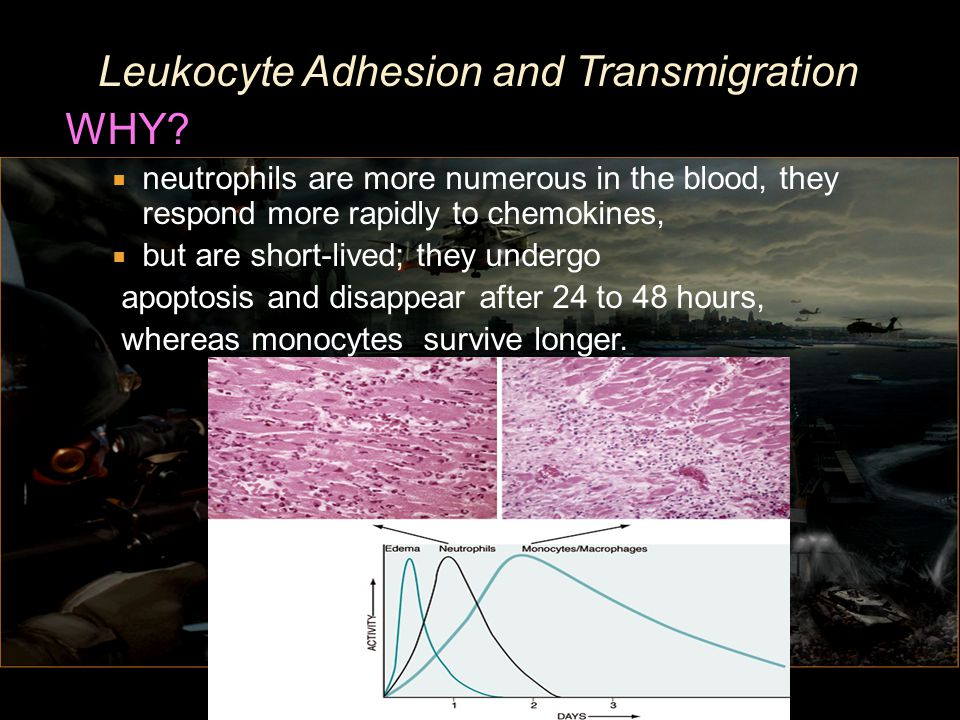 Leukocyte Adhesion and Transmigration WHY
