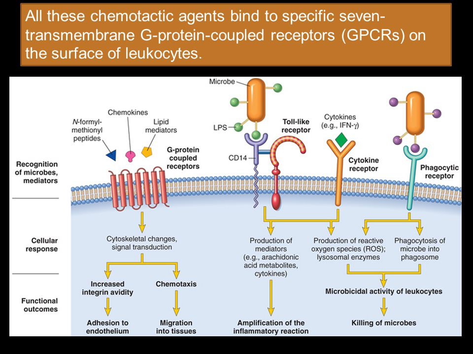 All these chemotactic agents bind to specific seven-transmembrane G-protein-coupled receptors (GPCRs) on the surface of leukocytes.