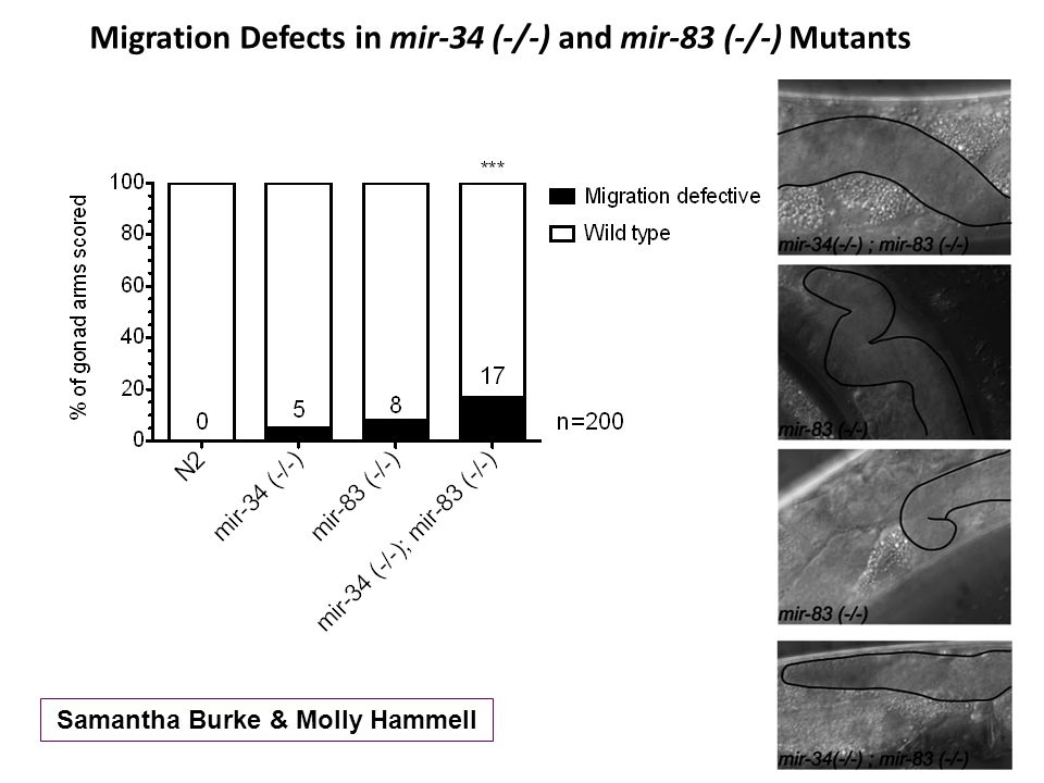 Migration Defects in mir-34 (-/-) and mir-83 (-/-) Mutants