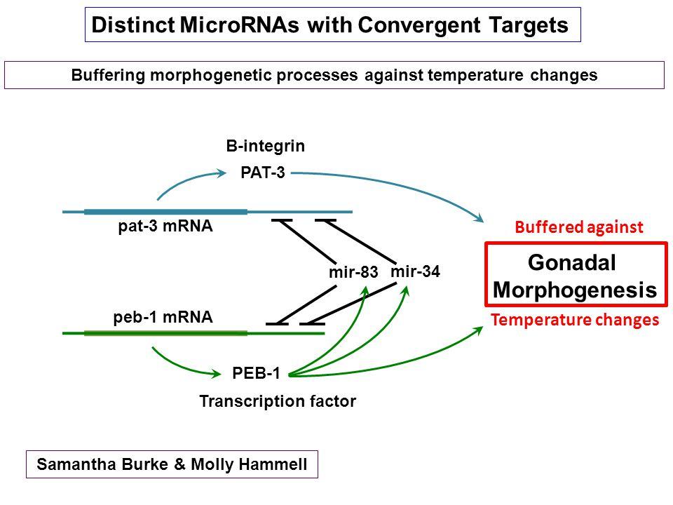 Distinct MicroRNAs with Convergent Targets Gonadal Morphogenesis