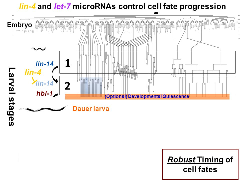 lin-4 and let-7 microRNAs control cell fate progression