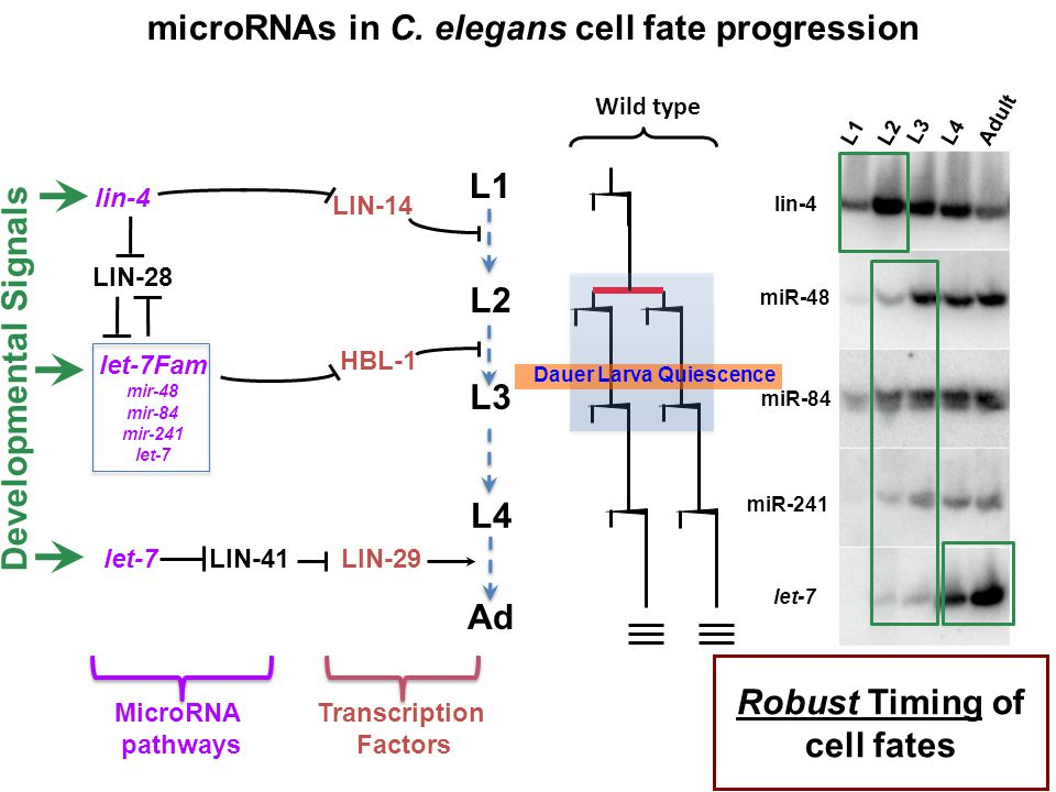 microRNAs in C. elegans cell fate progression Developmental Signals
