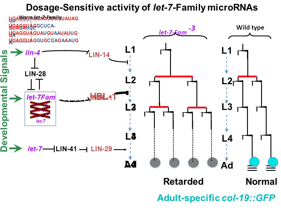 Dosage-Sensitive activity of let-7-Family microRNAs