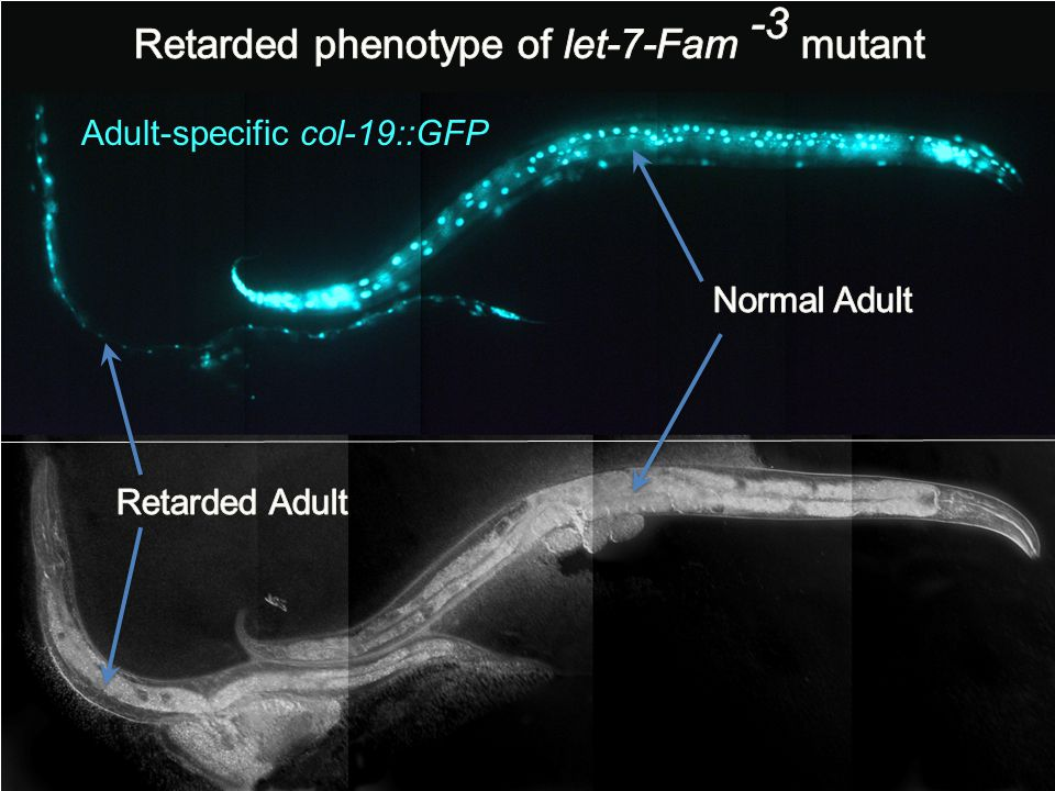 Retarded phenotype of let-7-Fam -3 mutant