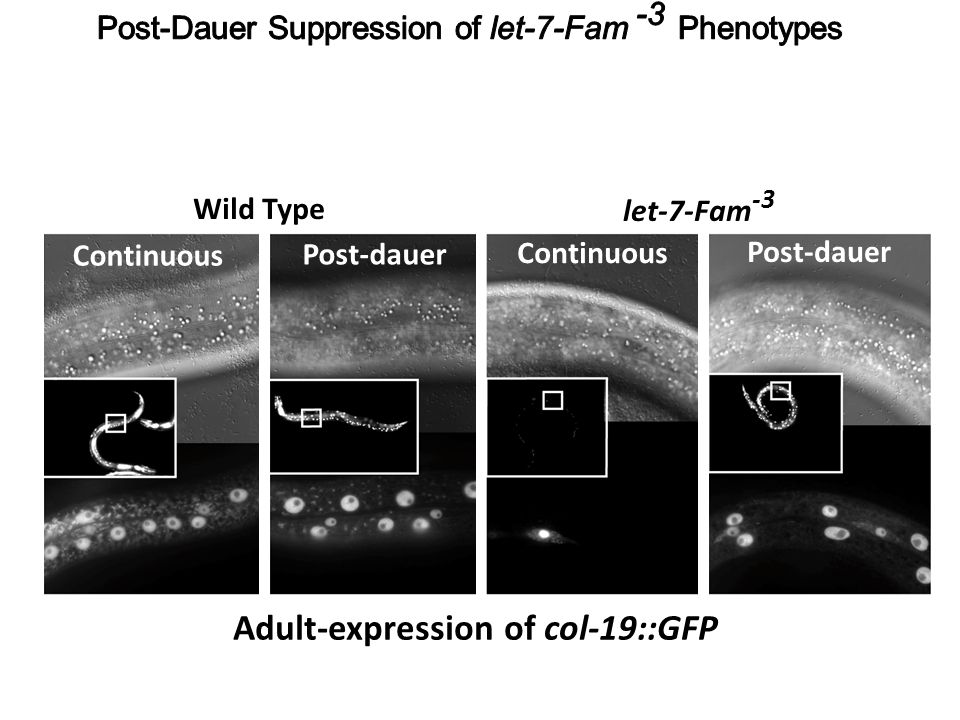 Adult-expression of col-19::GFP