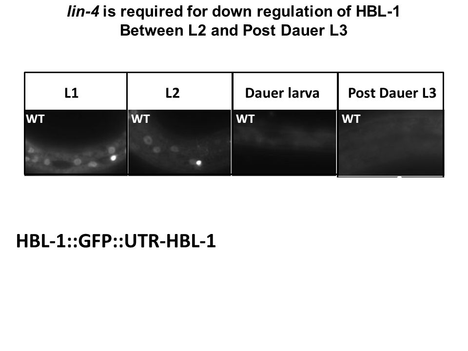 HBL-1::GFP::UTR-HBL-1 lin-4 is required for down regulation of HBL-1