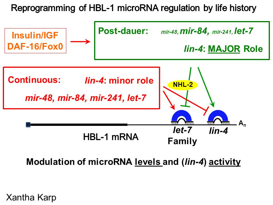 Modulation of microRNA levels and (lin-4) activity