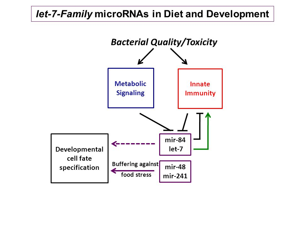 let-7-Family microRNAs in Diet and Development Developmental cell fate