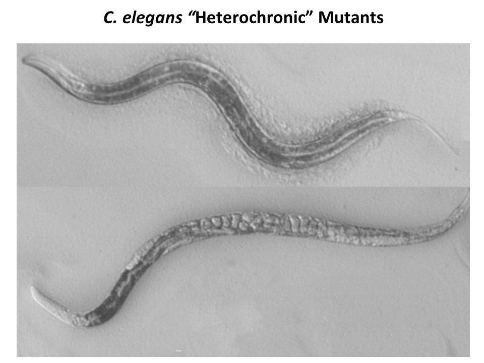 C. elegans Heterochronic Mutants