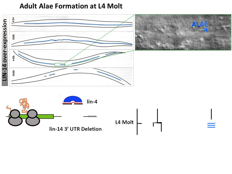 Adult Alae Formation at L4 Molt