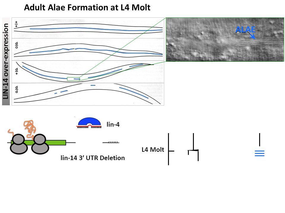Adult Alae Formation at L4 Molt