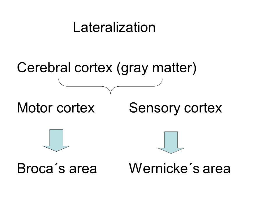 Lateralization Cerebral cortex (gray matter) Motor cortex Sensory cortex.