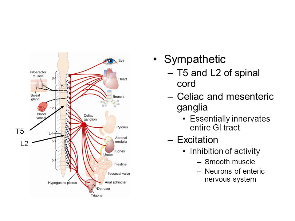 Sympathetic T5 and L2 of spinal cord Celiac and mesenteric ganglia