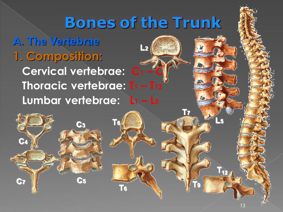 Bones of the Trunk 1. Composition: A. The Vertebrae