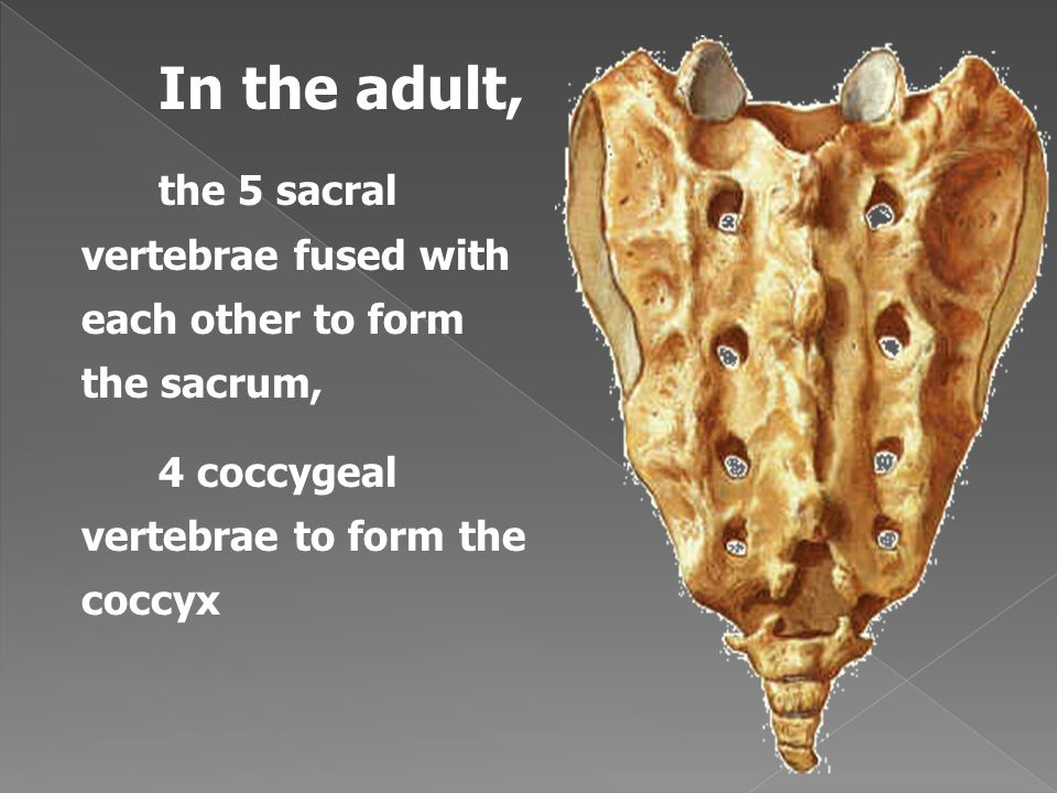 In the adult, the 5 sacral vertebrae fused with each other to form the sacrum, 4 coccygeal vertebrae to form the coccyx.