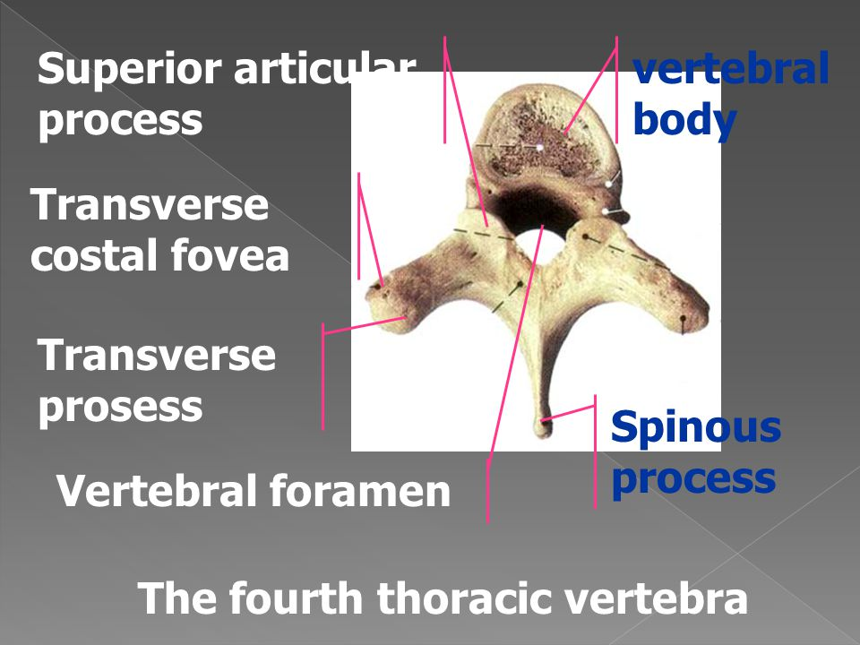 Superior articular process