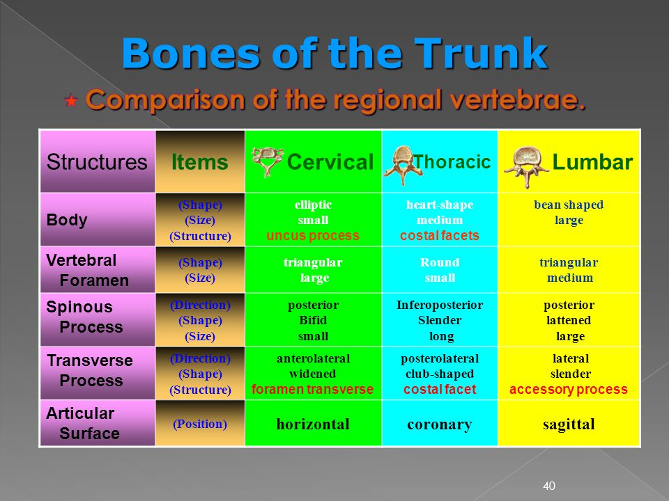  Comparison of the regional vertebrae.
