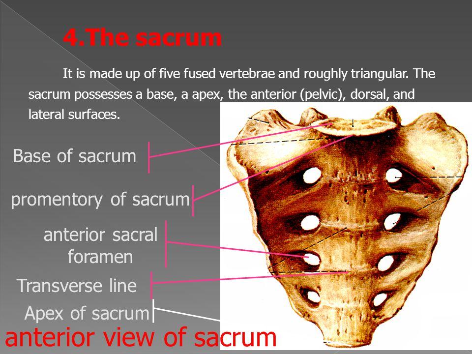 anterior sacral foramen