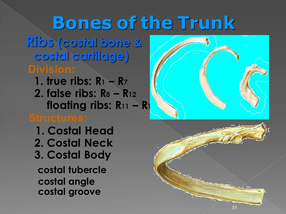 Bones of the Trunk Ribs (costal bone & costal cartilage)