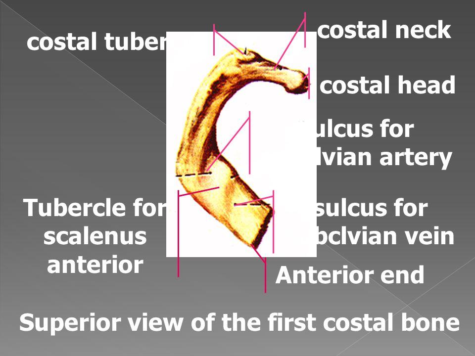 sulcus for subclvian artery