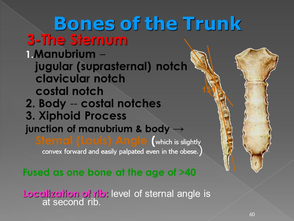 Bones of the Trunk 3-The Sternum jugular (suprasternal) notch