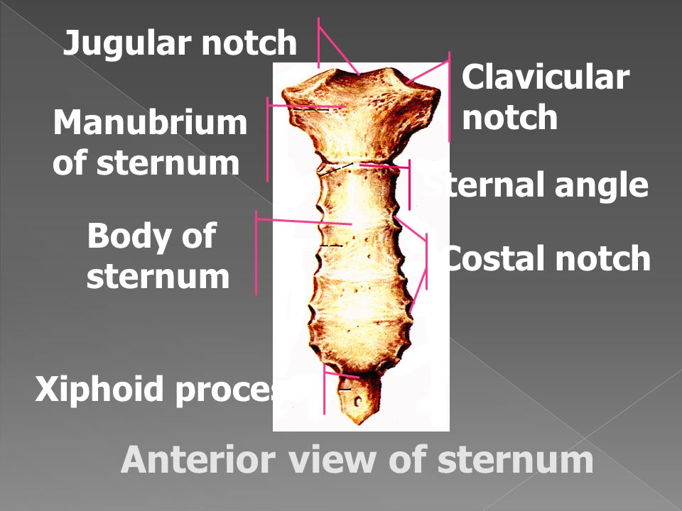 Anterior view of sternum