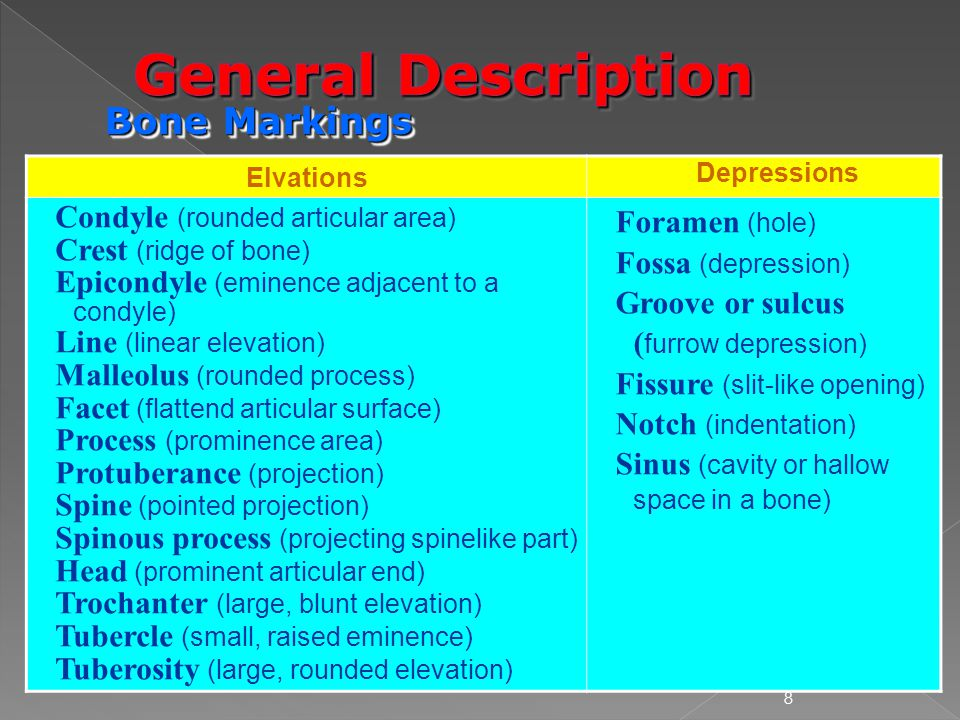 General Description Bone Markings Condyle (rounded articular area)