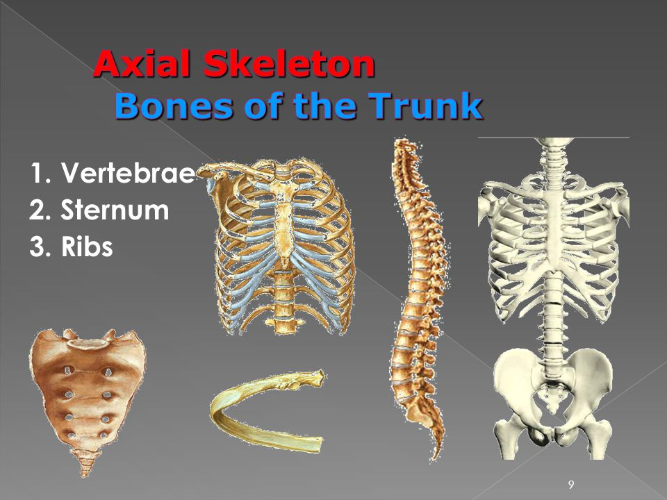 Axial Skeleton Bones of the Trunk
