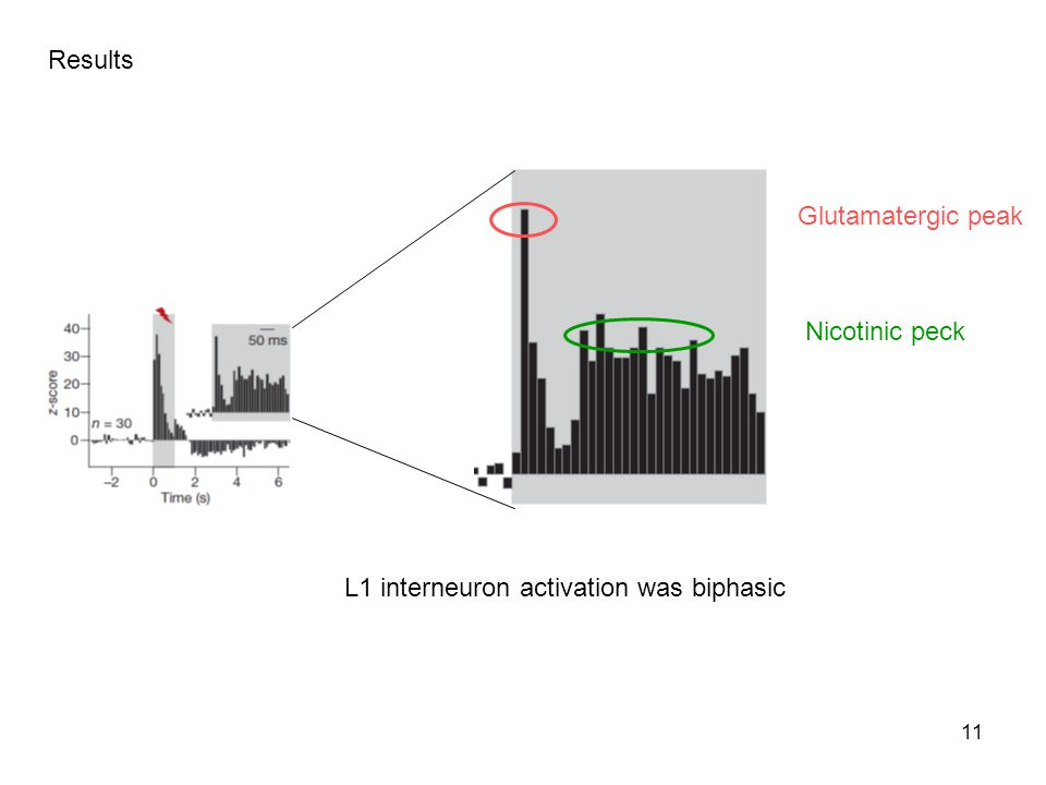 Results Glutamatergic peak Nicotinic peck L1 interneuron activation was biphasic