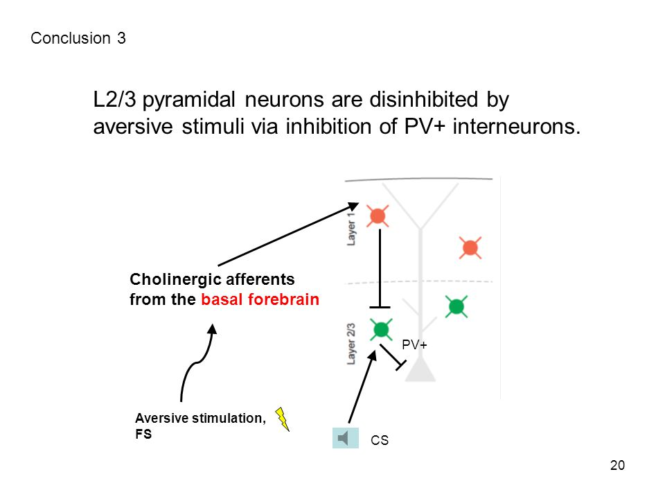 L2/3 pyramidal neurons are disinhibited by