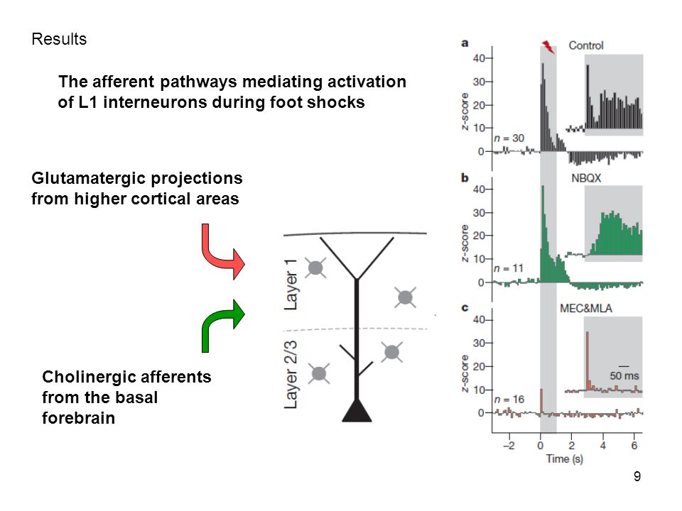 Results The afferent pathways mediating activation. of L1 interneurons during foot shocks. Glutamatergic projections.