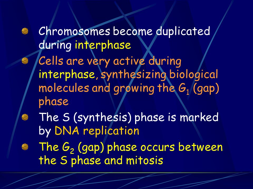 Chromosomes become duplicated during interphase