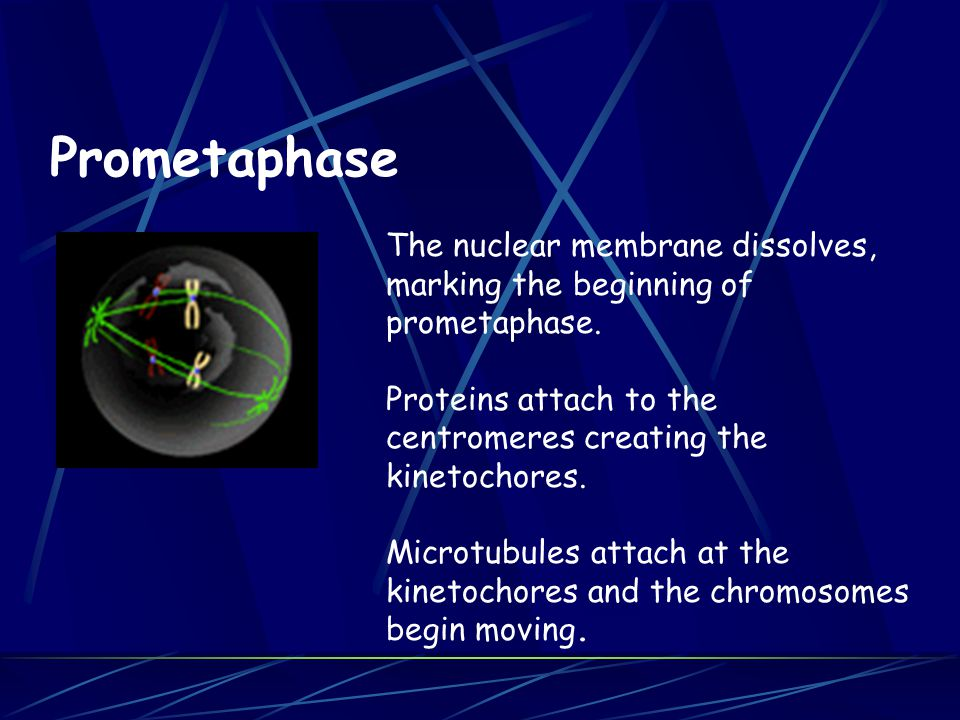 Prometaphase The nuclear membrane dissolves, marking the beginning of prometaphase.