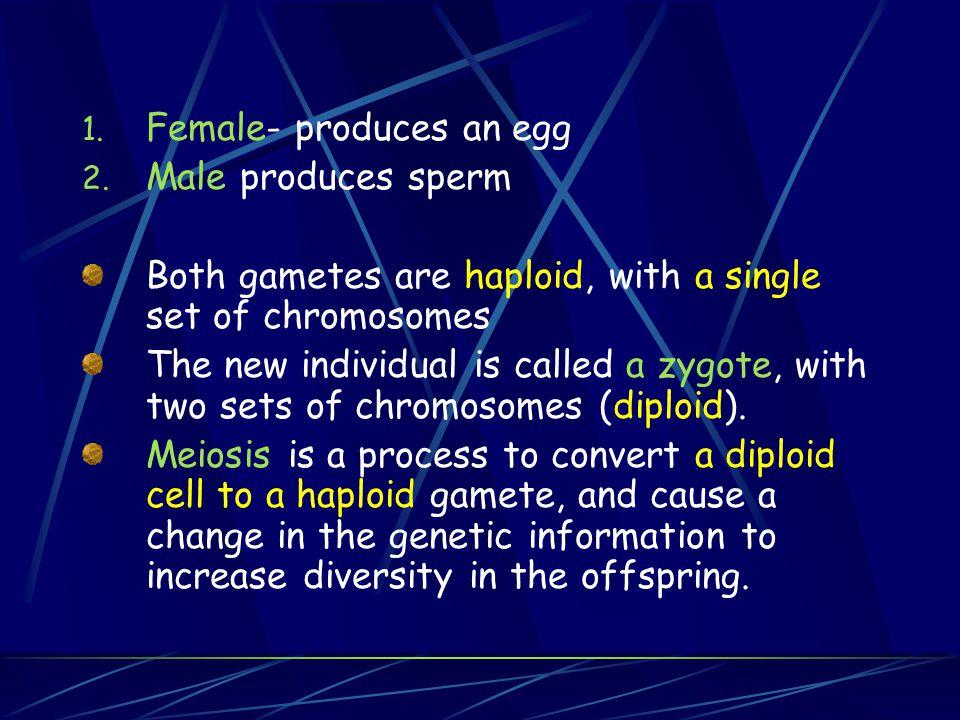Female- produces an egg