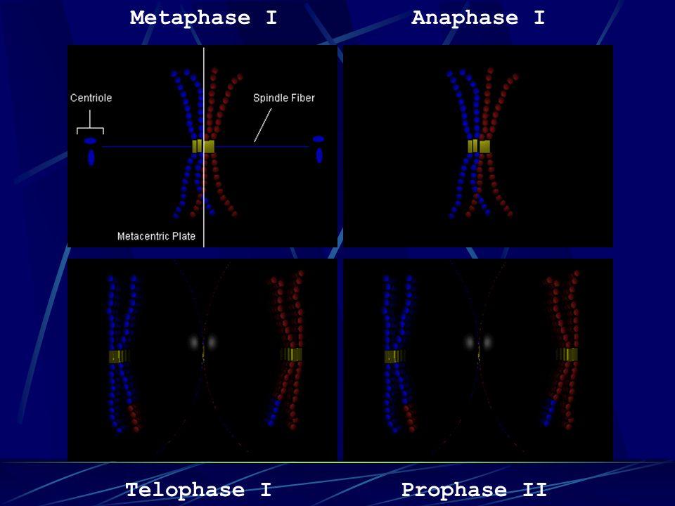 Metaphase I Anaphase I Telophase I Prophase II