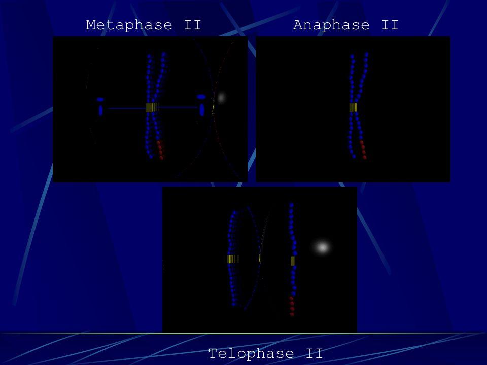 Metaphase II Anaphase II Telophase II