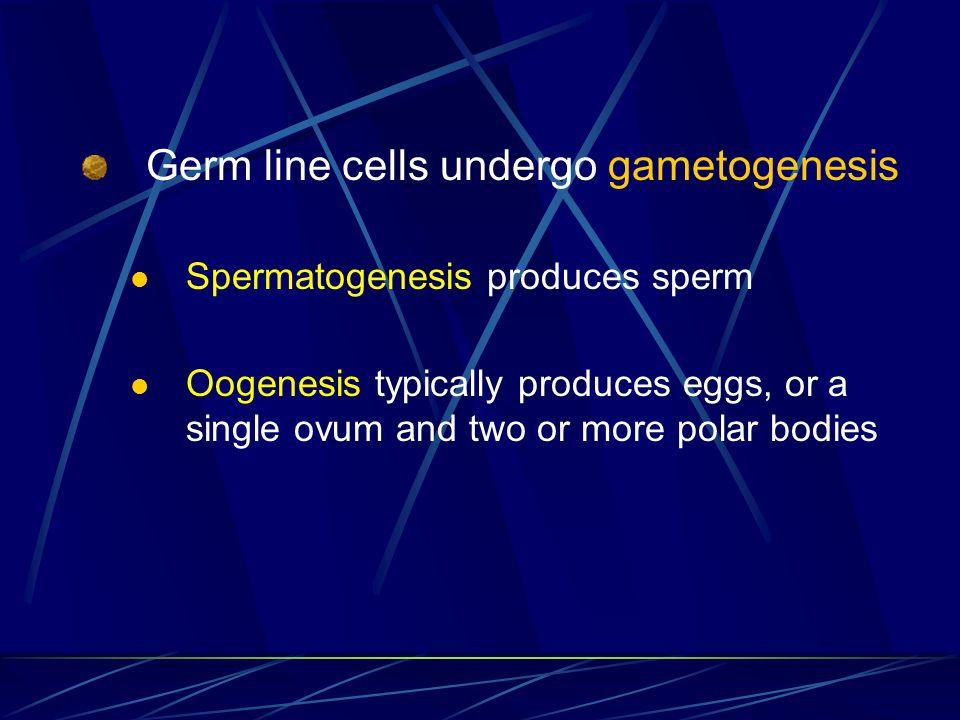Germ line cells undergo gametogenesis