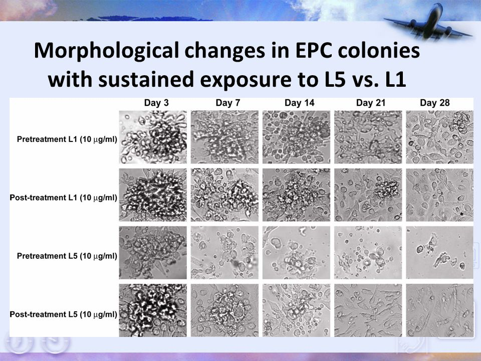 Morphological changes in EPC colonies with sustained exposure to L5 vs