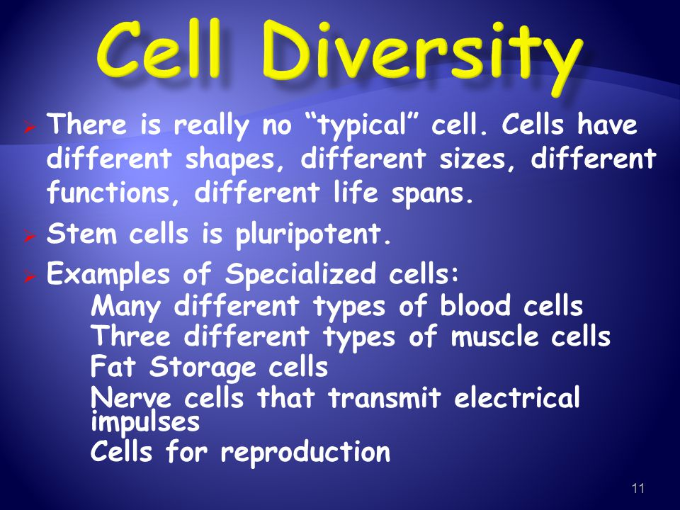 Cell Diversity There is really no typical cell. Cells have different shapes, different sizes, different functions, different life spans.