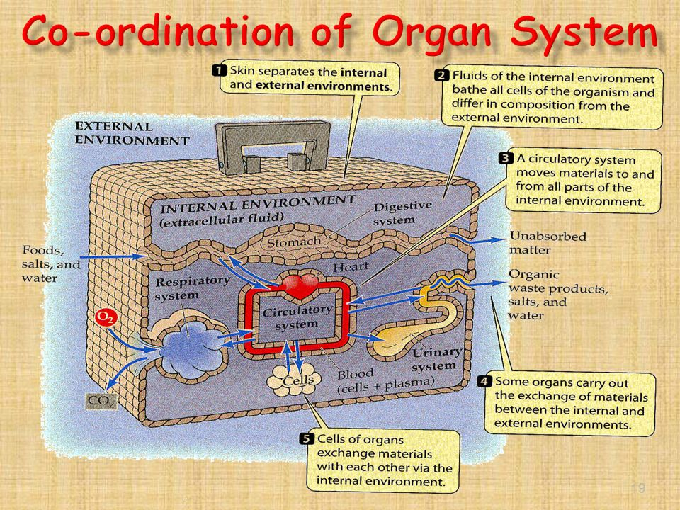 Co-ordination of Organ System