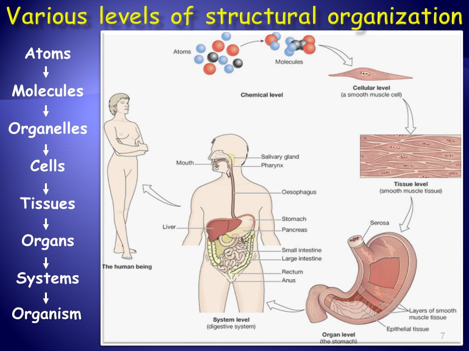 Various levels of structural organization